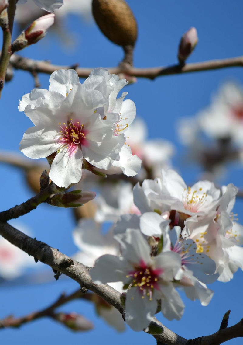 Almendros en flor flor
