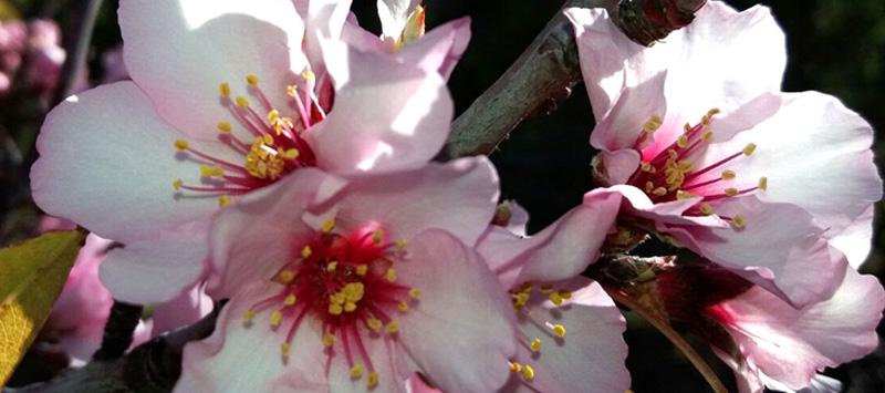 Almendros en flor lovers-1